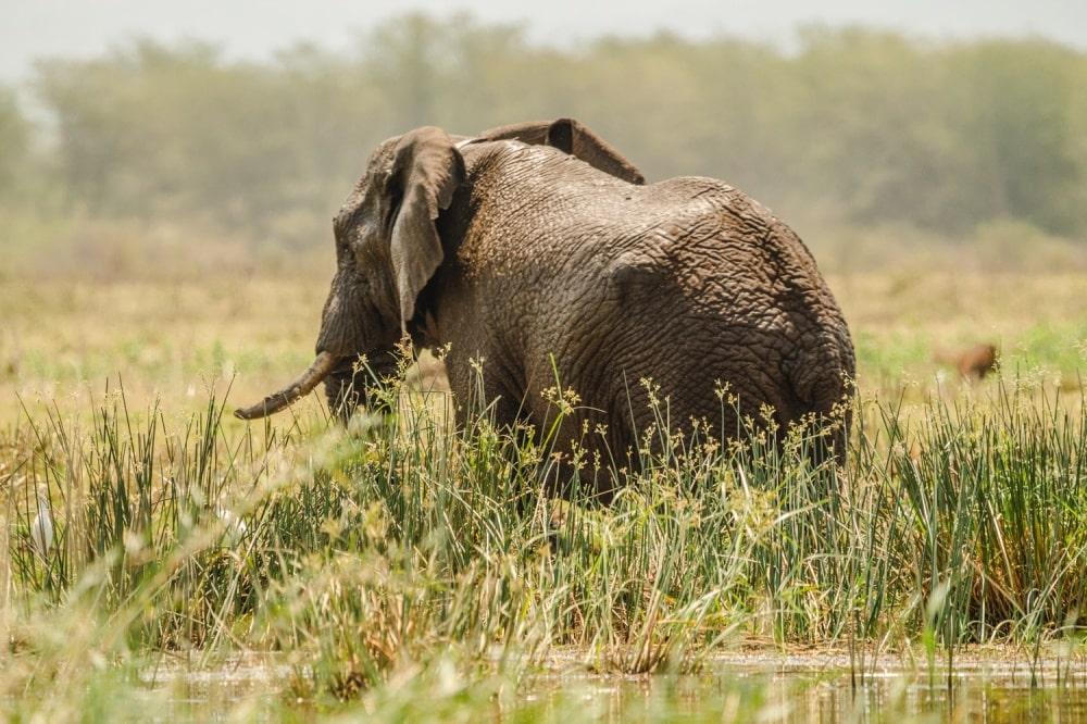 Elefant in Pongola
